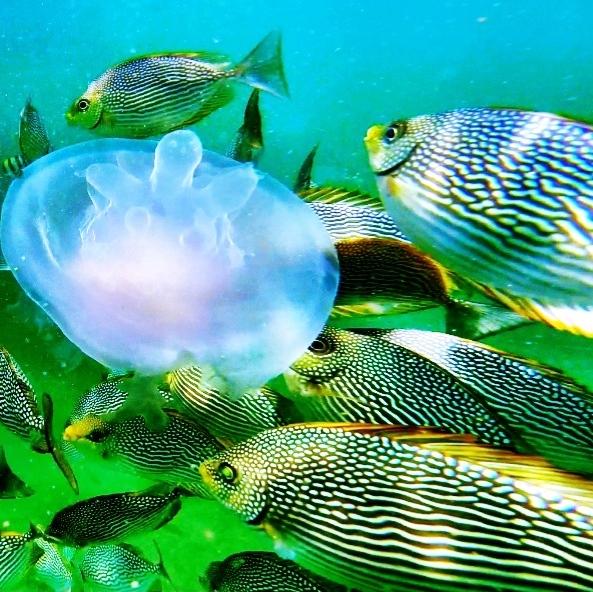 jellyfish in thailand snorkeling