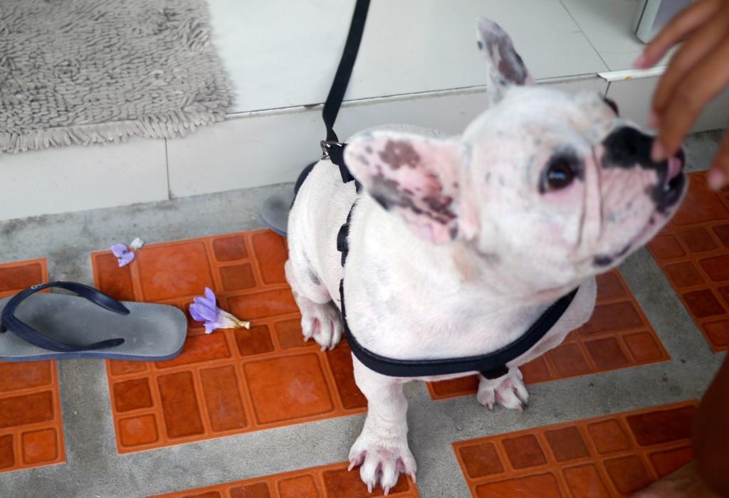 french bulldog in thailand